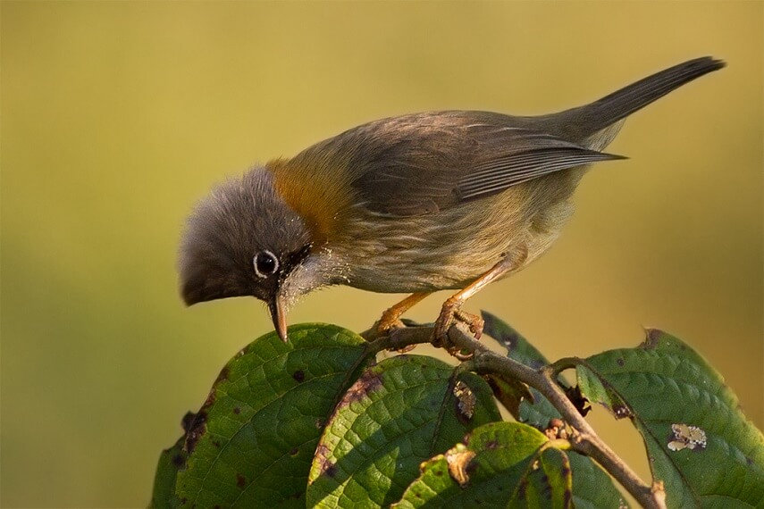 Yuhina_bird-from-Eaglenest_Wildlife_Sanctuary_Arunachal_Pradesh_India