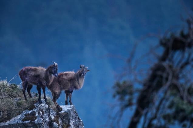 Himalayan Tahr Sikkim Tourism